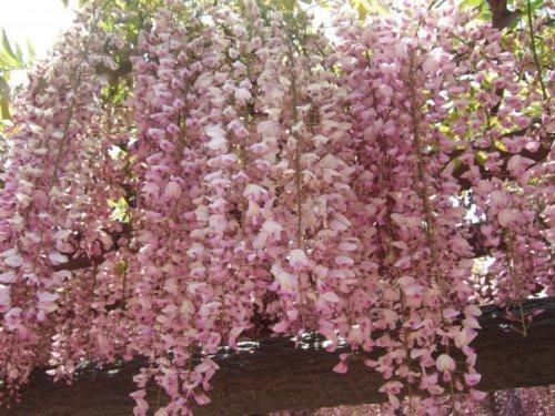 Fuji Flower/Wisteria