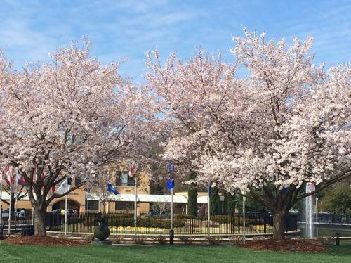 Spring at my alma mater...a little touch of Japan!