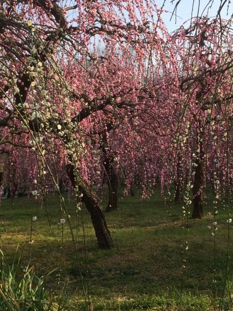 plum-blossom-2